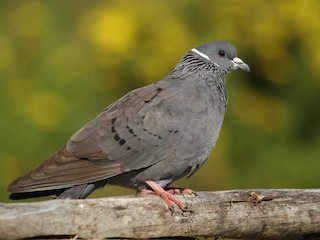 - White-collared Pigeon