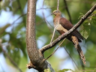 - Sultan's Cuckoo-Dove (Sulawesi)