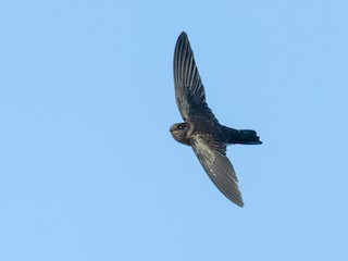 - Cave Swiftlet