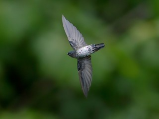 - Plume-toed Swiftlet