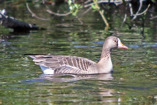 Greater White-fronted Goose, ML36721041