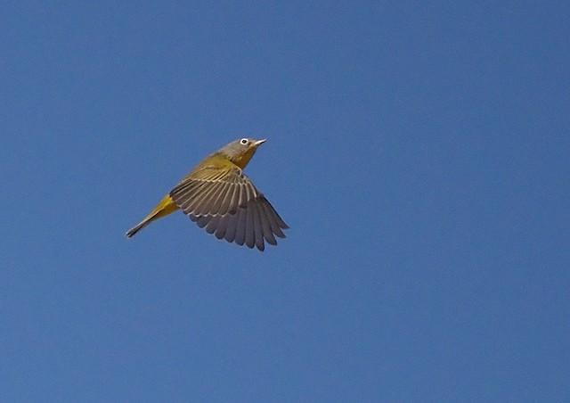 Nashville Warbler (ridgwayi)