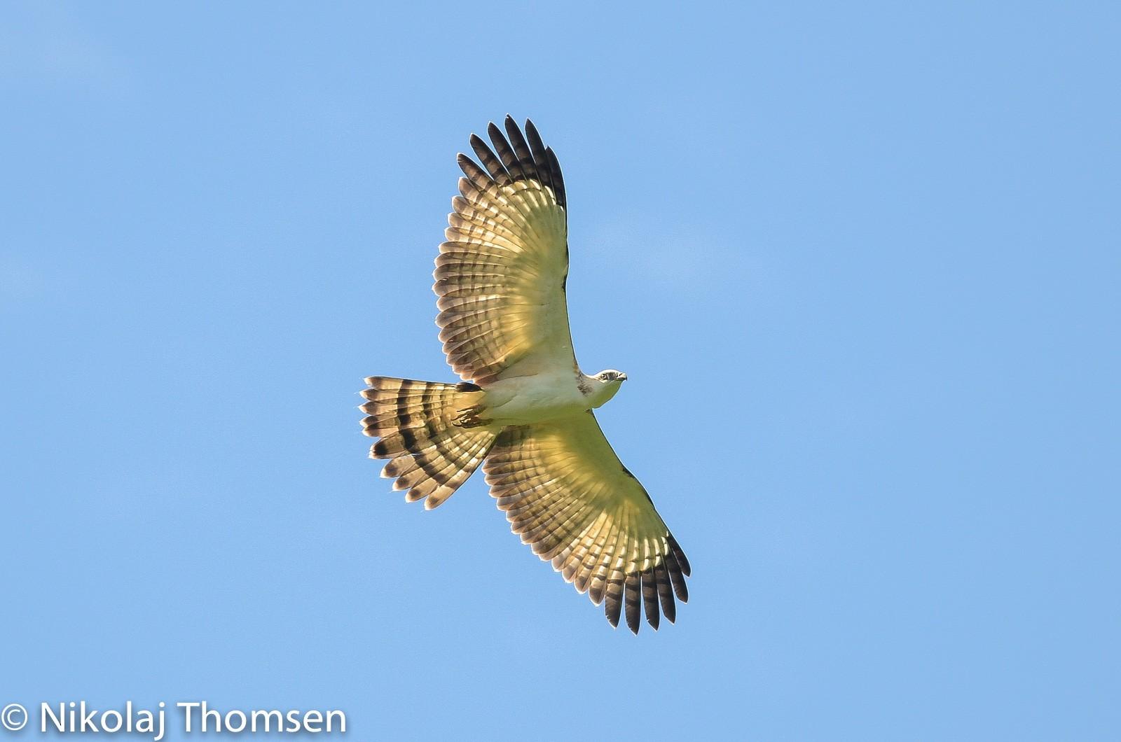Philippine Honey-buzzard - Nikolaj Mølgaard Thomsen