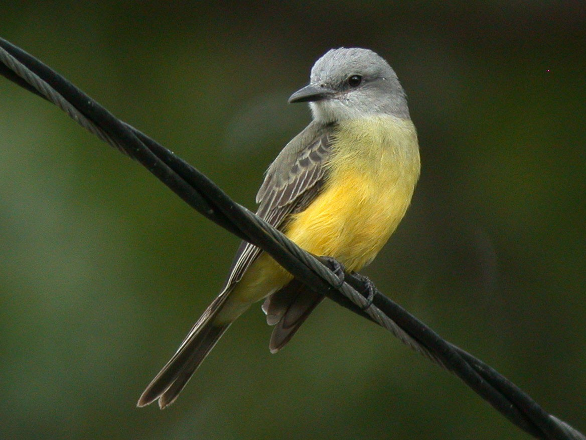 Tropical Kingbird - Chris Wood