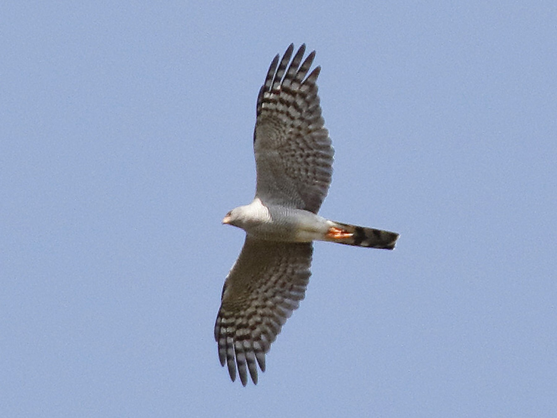 Ovambo Sparrowhawk - Dave Curtis