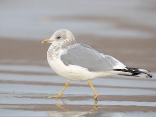 - Short-billed Gull