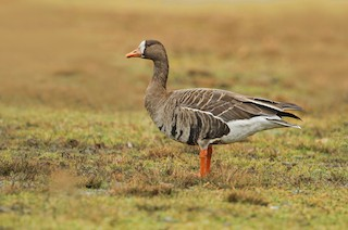Greater White-fronted Goose (Greenland)