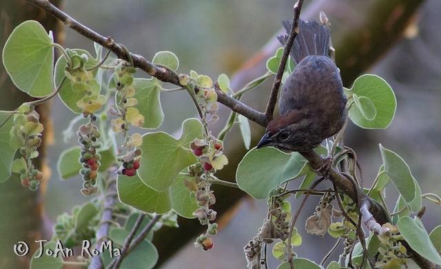 Rusty Sparrow