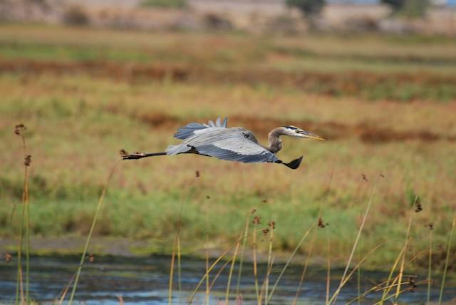 Great Blue Heron (Great Blue)
