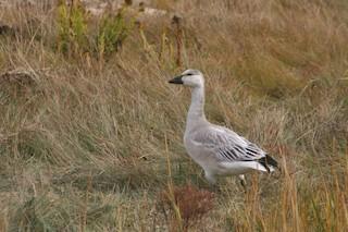 Snow Goose, ML36939641