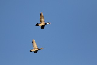 Wood Duck, ML36942201
