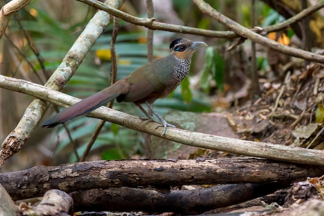 Scaled Ground-Cuckoo