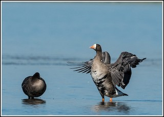 Greater White-fronted Goose, ML370322671