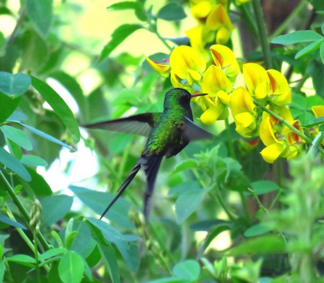 Golden-crowned Emerald