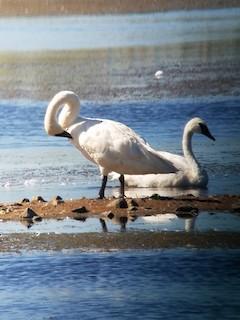 Trumpeter Swan, ML370898021