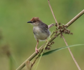 - Chattering Cisticola
