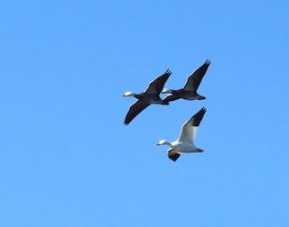 Snow Goose, ML37103351