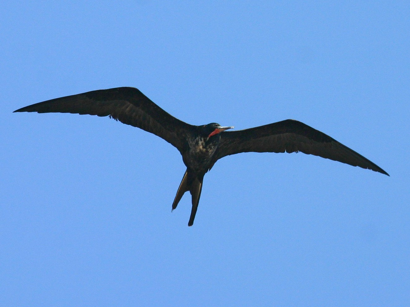 Magnificent Frigatebird - Chris Wood