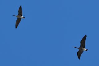 Cackling Goose, ML37111811