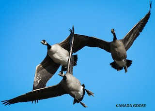 Canada Goose, ML371408581