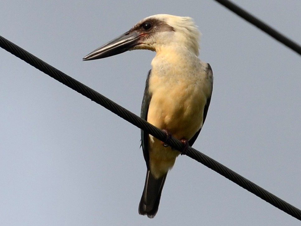 Great-billed Kingfisher - Dirk Tomsa