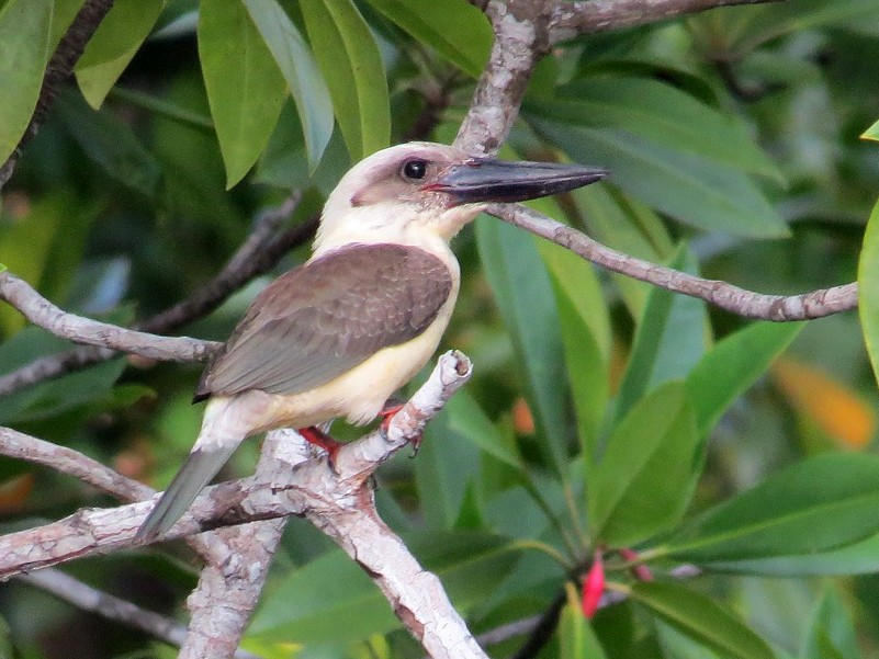 Great-billed Kingfisher - André Weiss