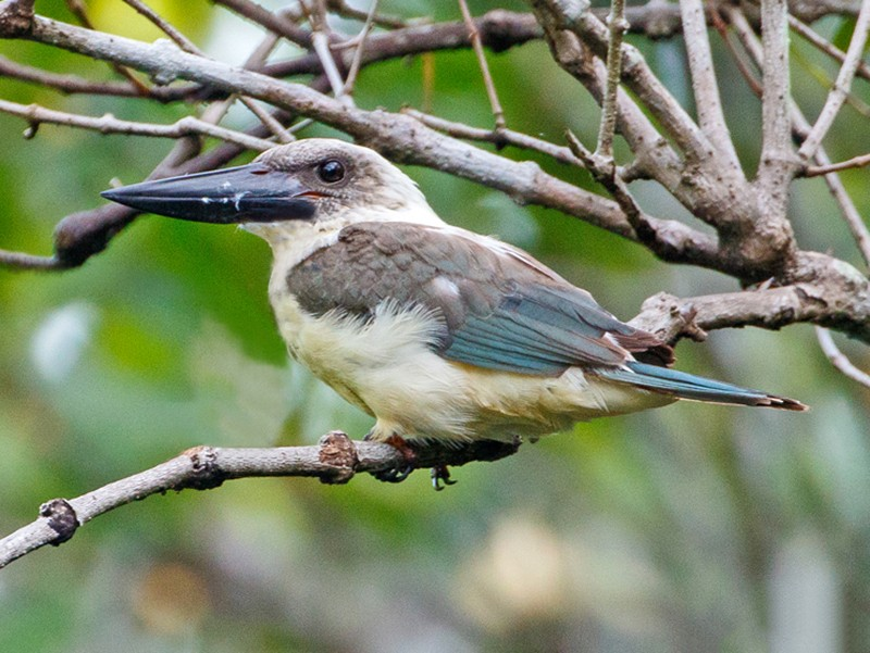 Great-billed Kingfisher - Andy Walker - Birding Ecotours