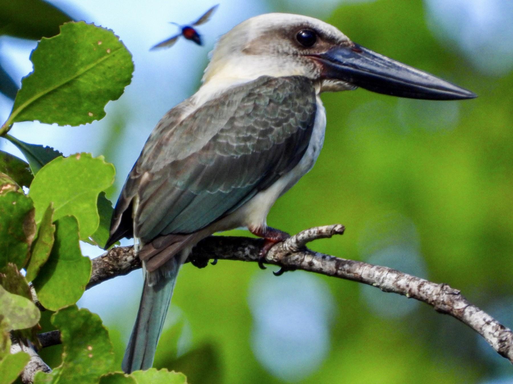Great-billed Kingfisher - GARY DOUGLAS