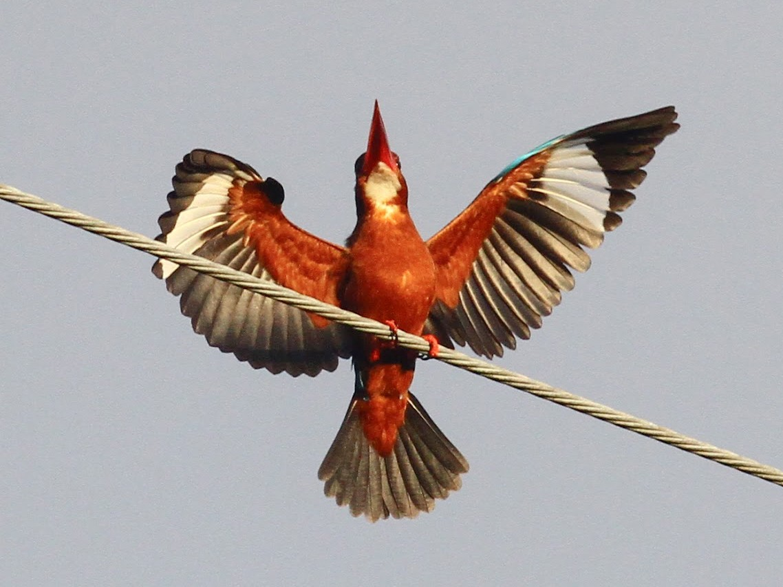 Brown-breasted Kingfisher - Paul Bourdin