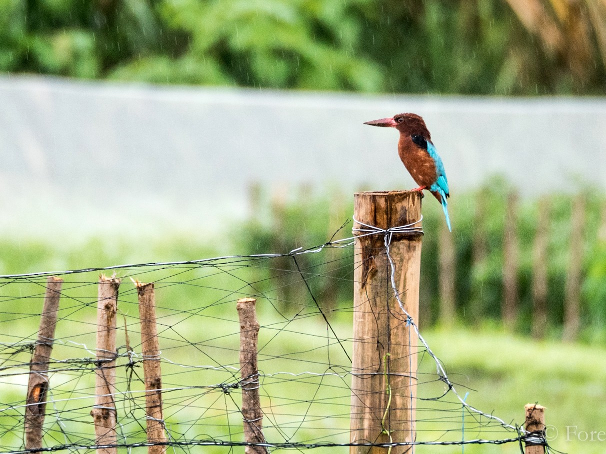 Brown-breasted Kingfisher - Forest Jarvis