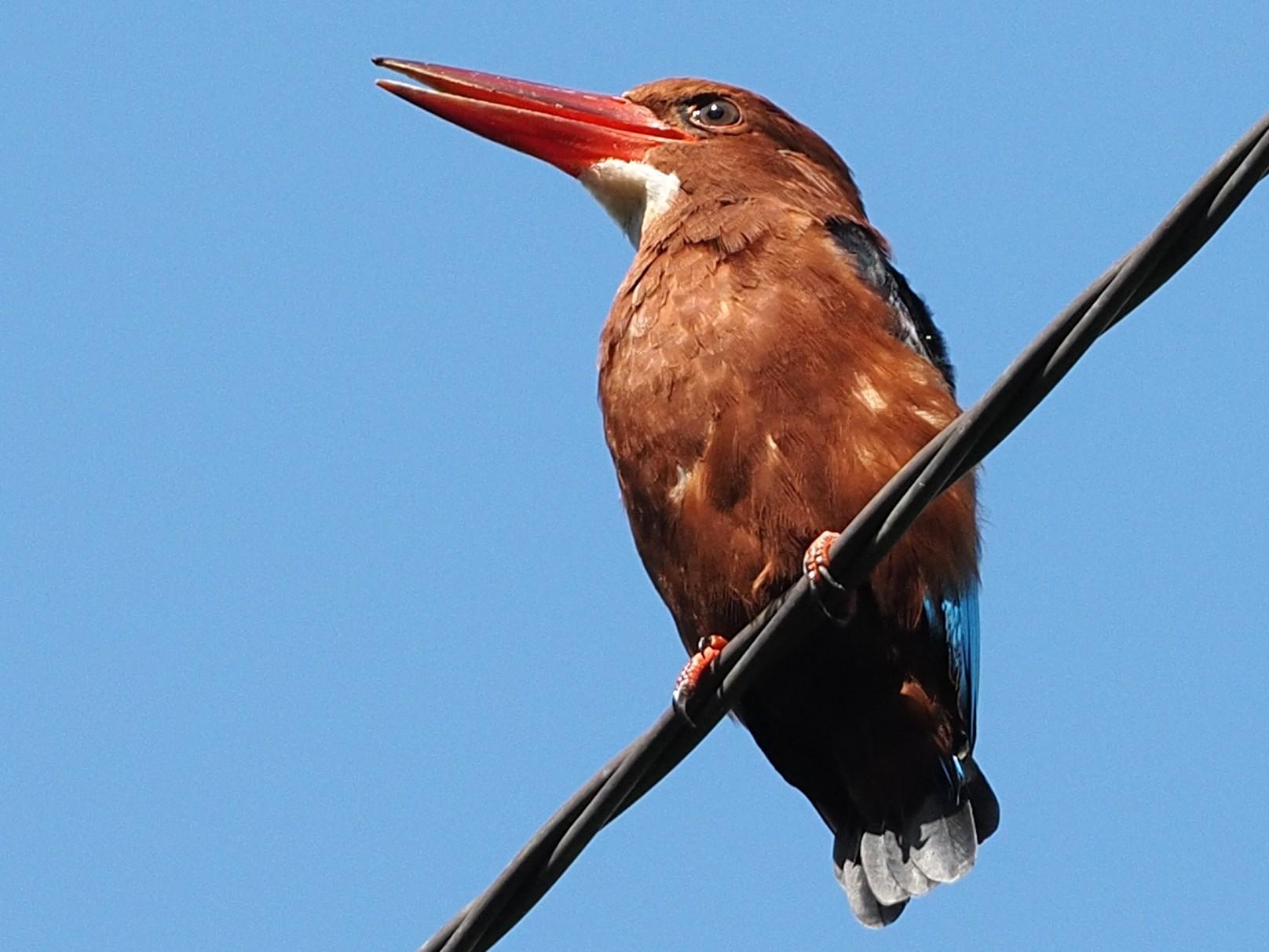 Brown-breasted Kingfisher - Robert Hutchinson