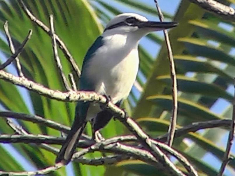 Marquesas Kingfisher - Josep del Hoyo