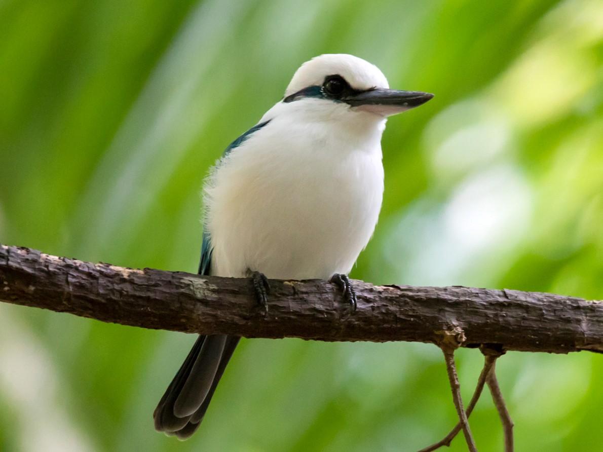 Marquesas Kingfisher - Mike Greenfelder