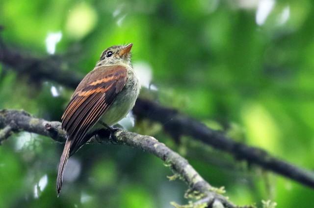 Roraiman Flycatcher