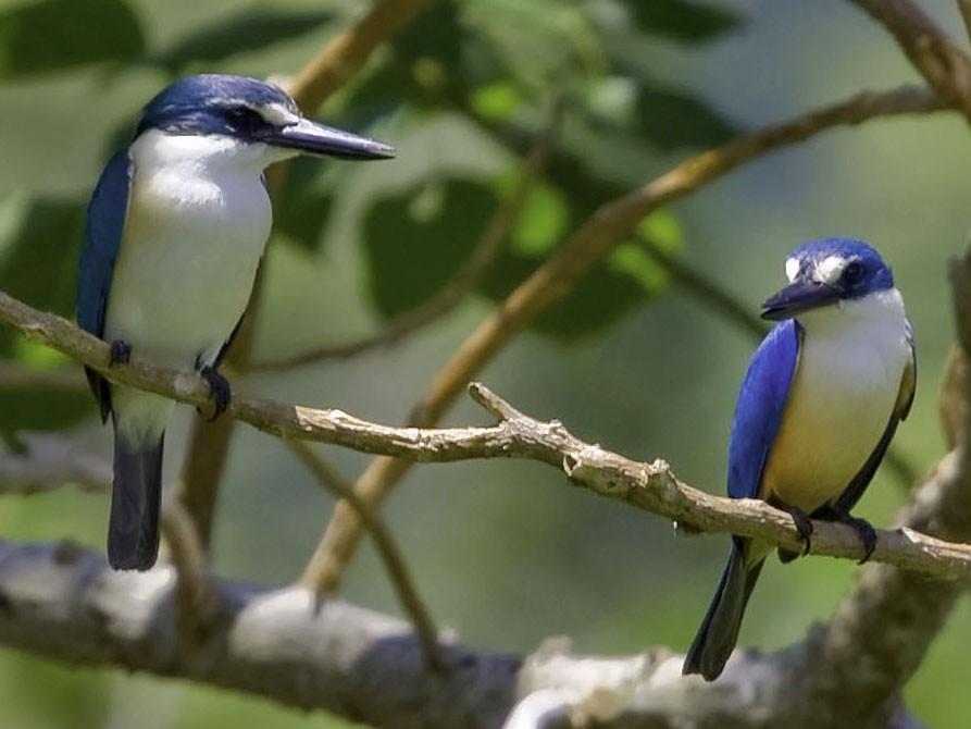Flat-billed Kingfisher - Lance Laack