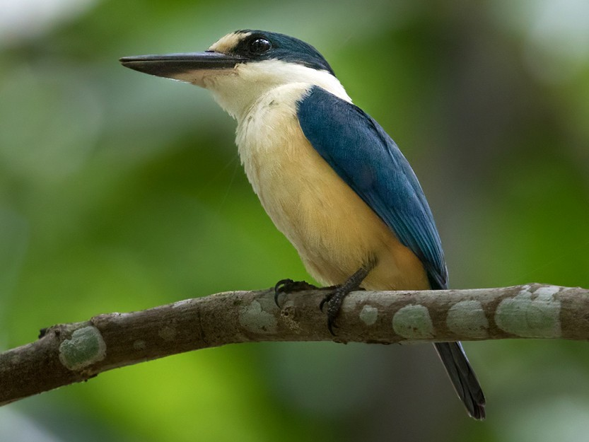 Flat-billed Kingfisher - Lars Petersson