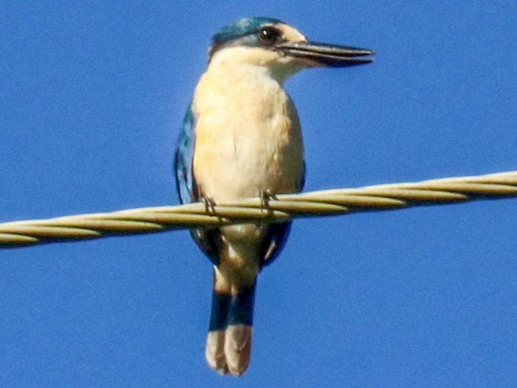Flat-billed Kingfisher - Robin DeMeo