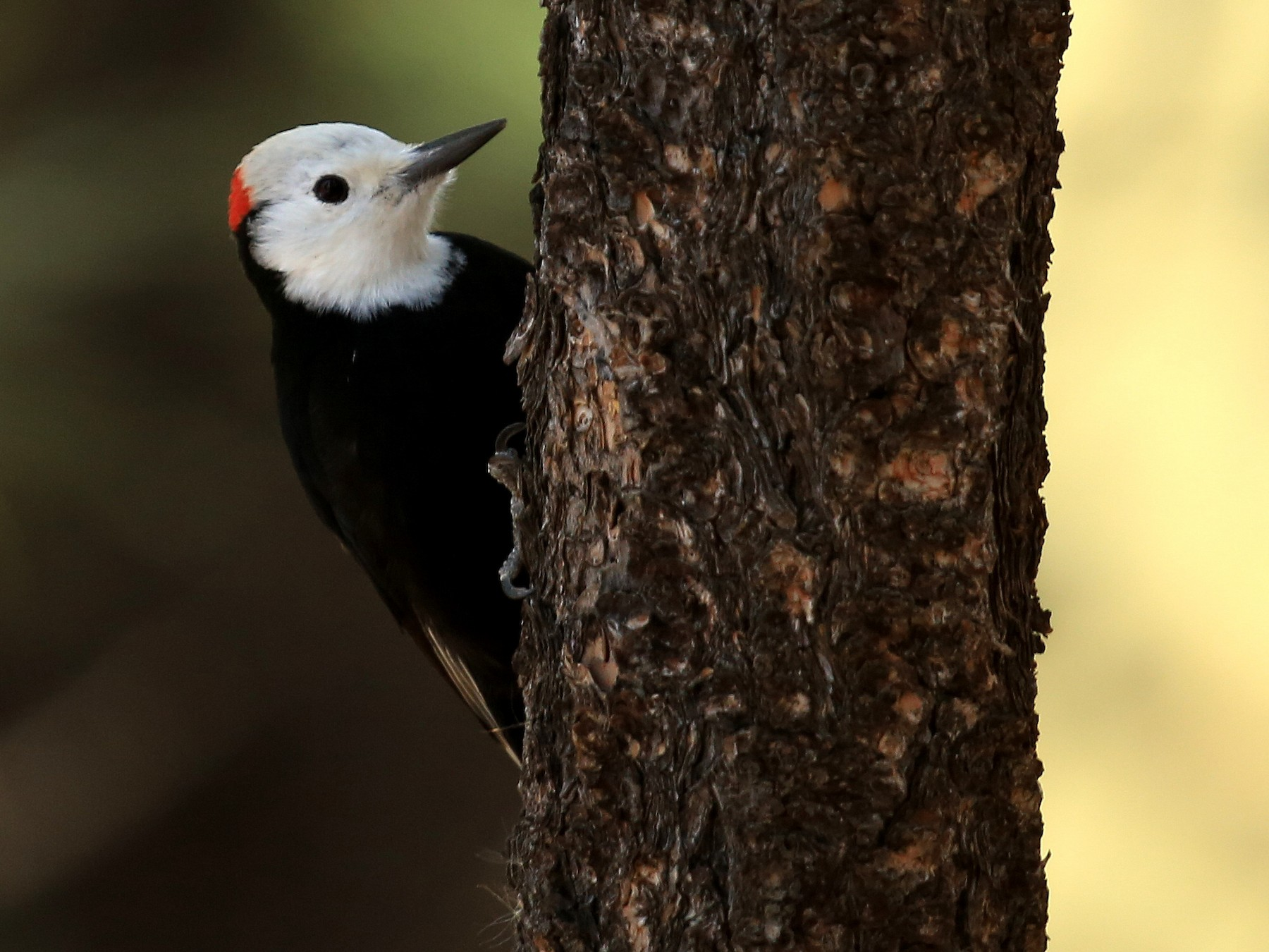 White-headed Woodpecker - Tim Lenz