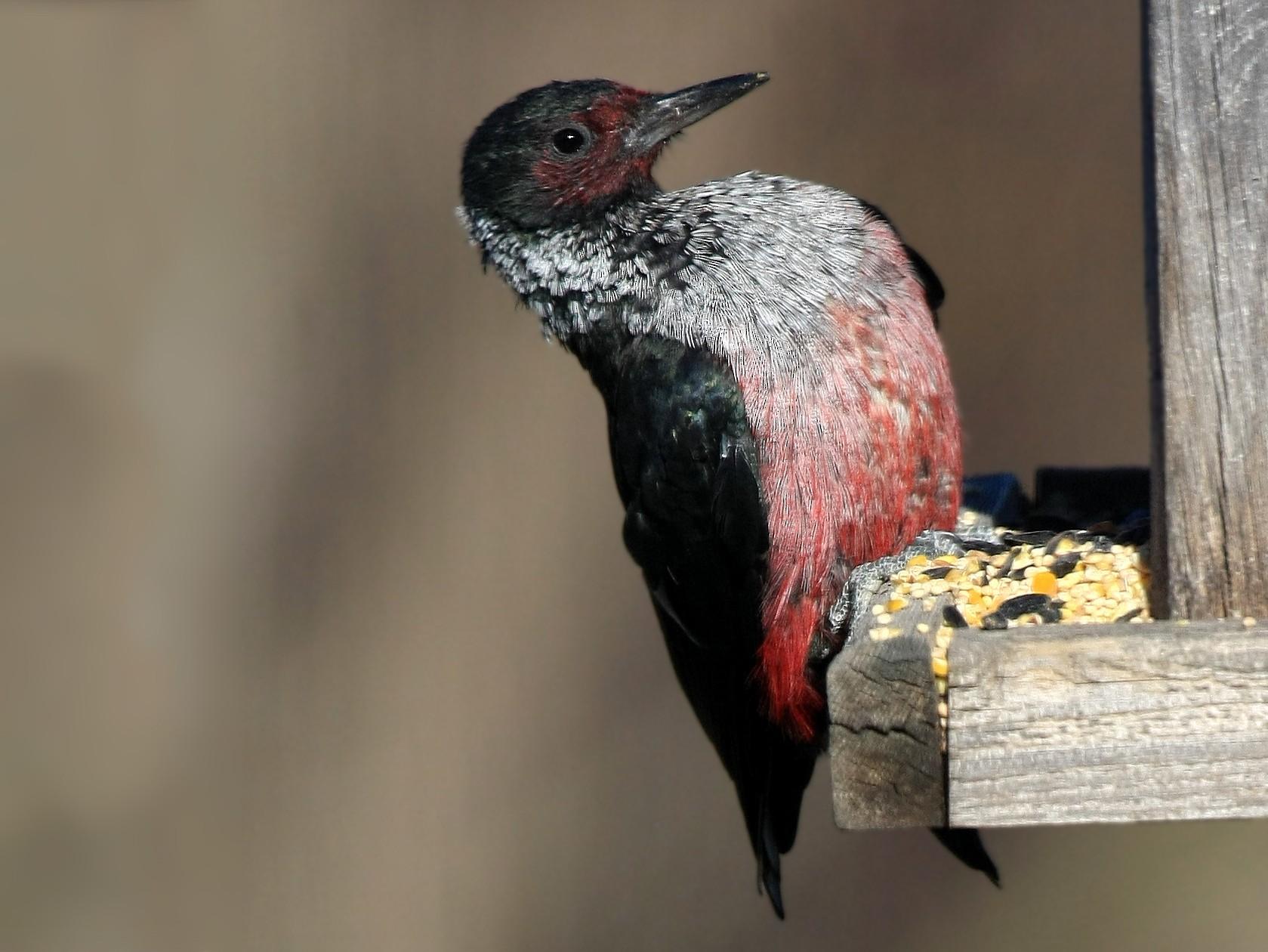 Lewis's Woodpecker - Tim Lenz