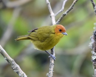 - Rust-and-yellow Tanager
