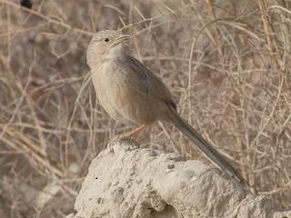 - Afghan Babbler