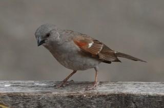 - Swahili Sparrow