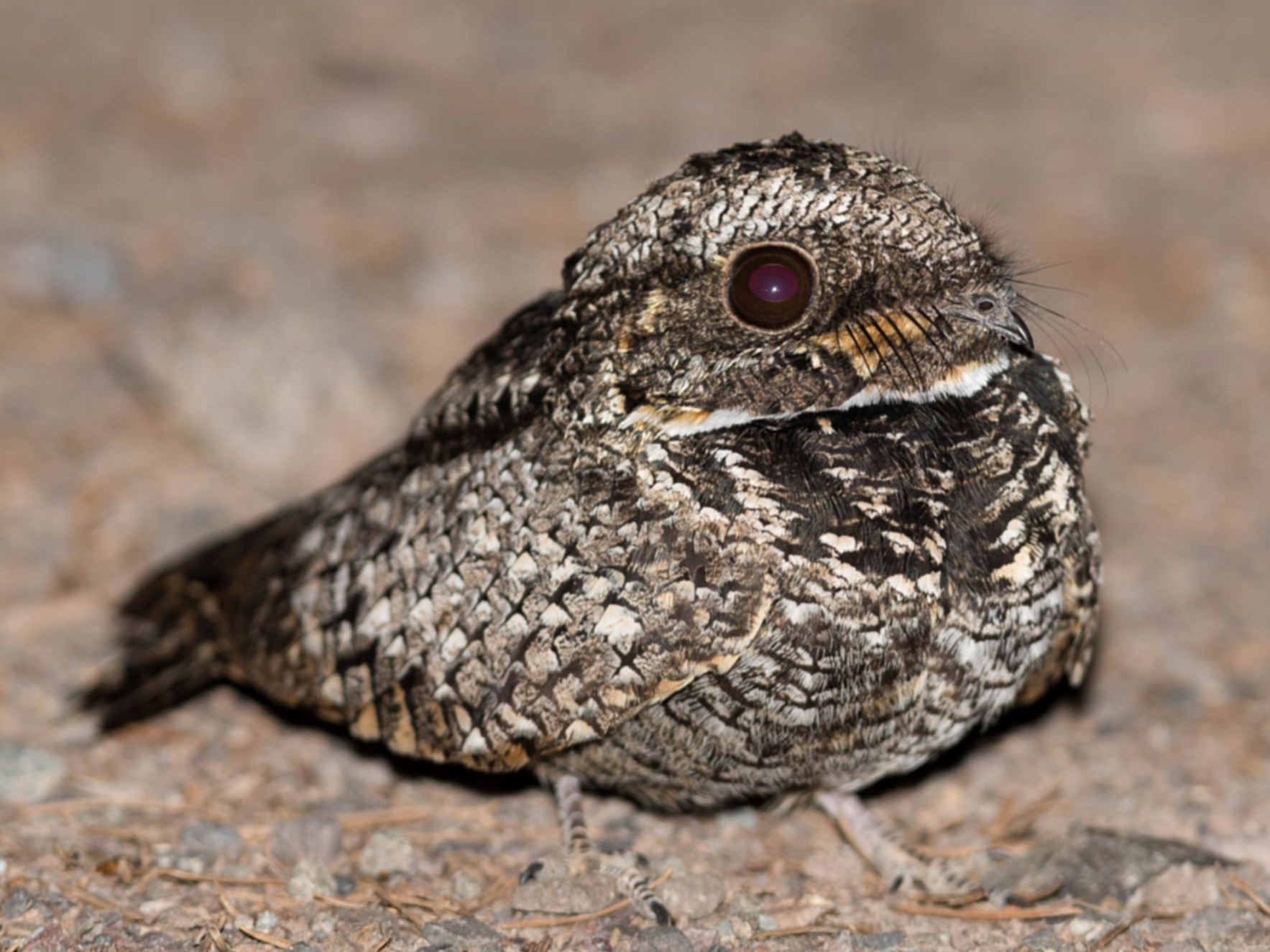 Common Poorwill - Ian Routley