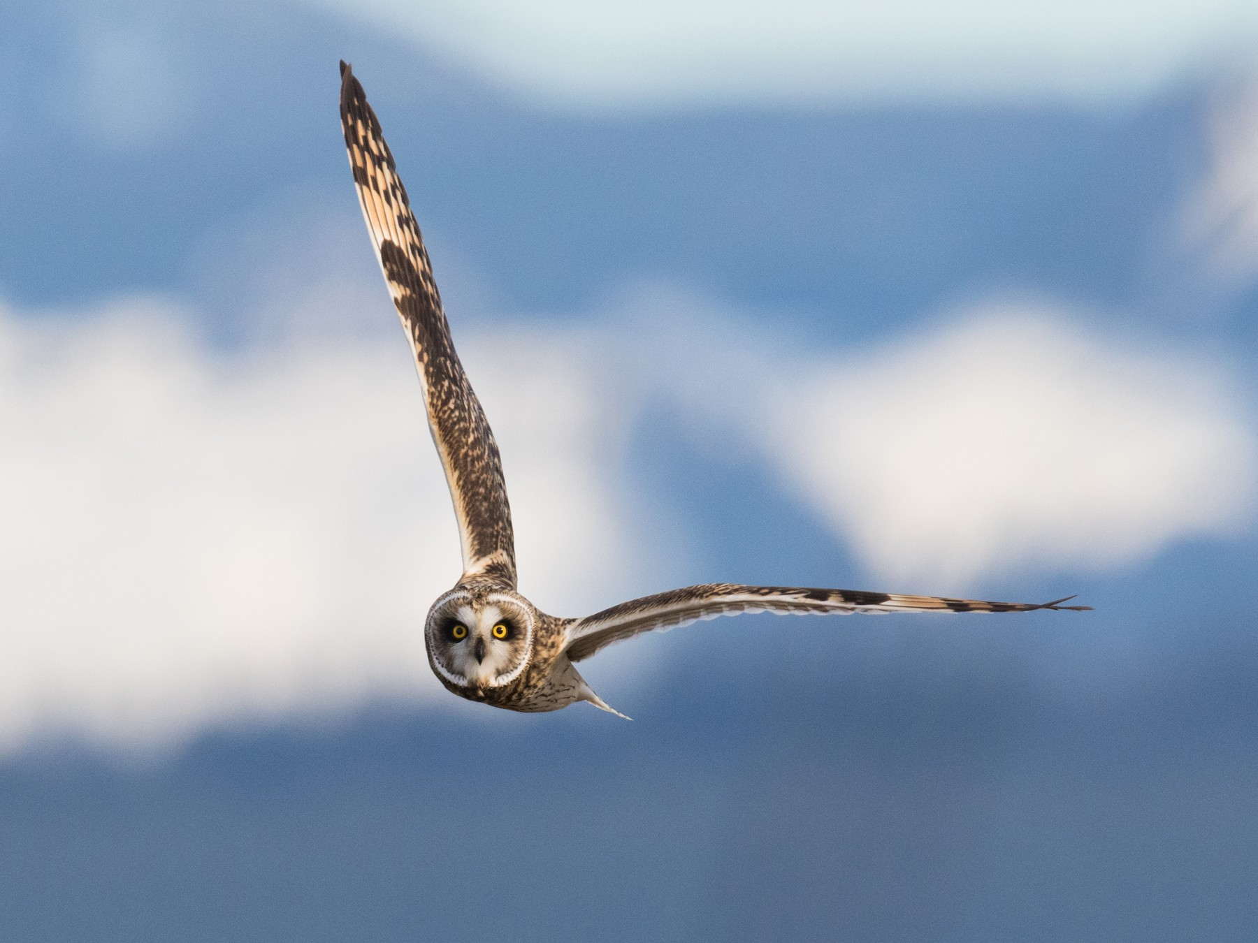 Short-eared Owl - Tony Varela