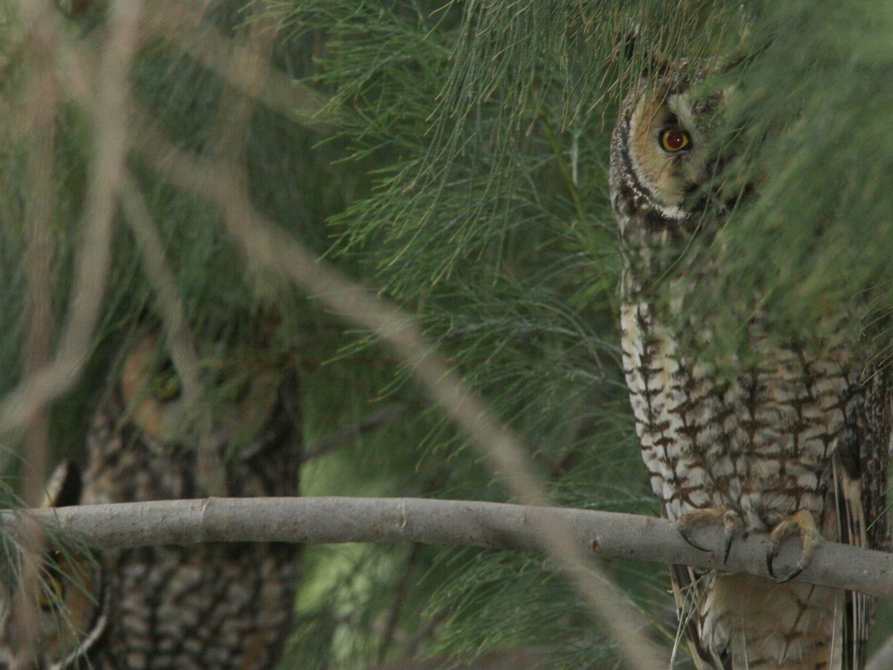 Long-eared Owl - Brian Sullivan
