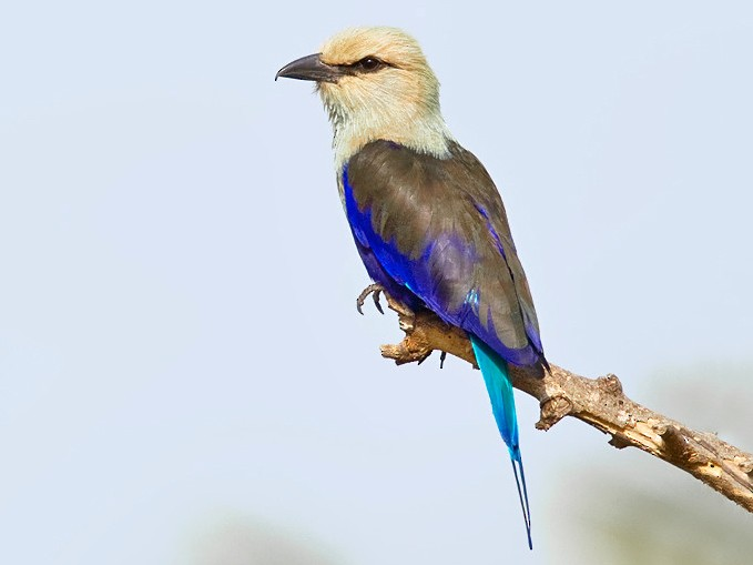 Blue-bellied Roller - Paul Cools