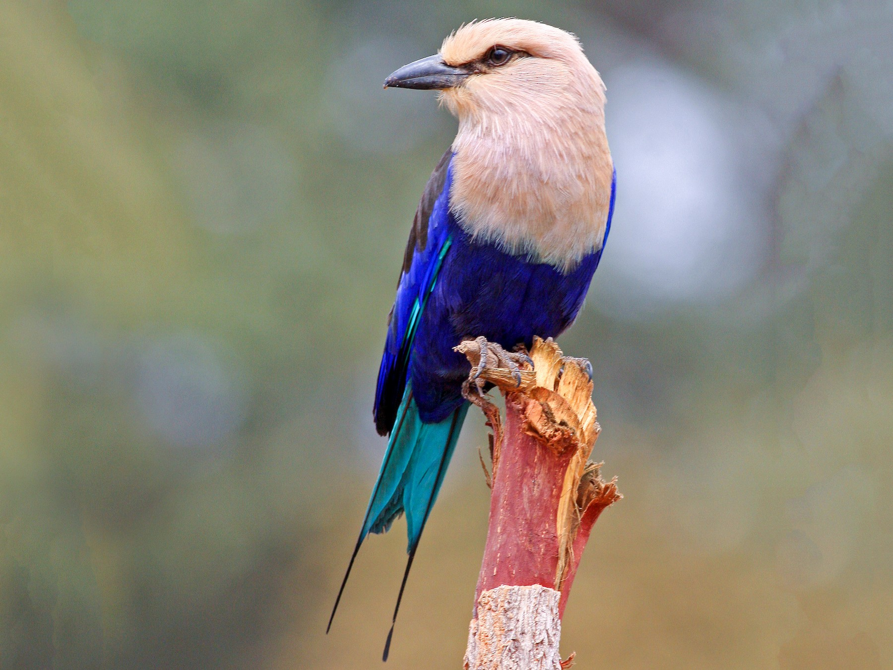 Blue-bellied Roller - Frans Vandewalle