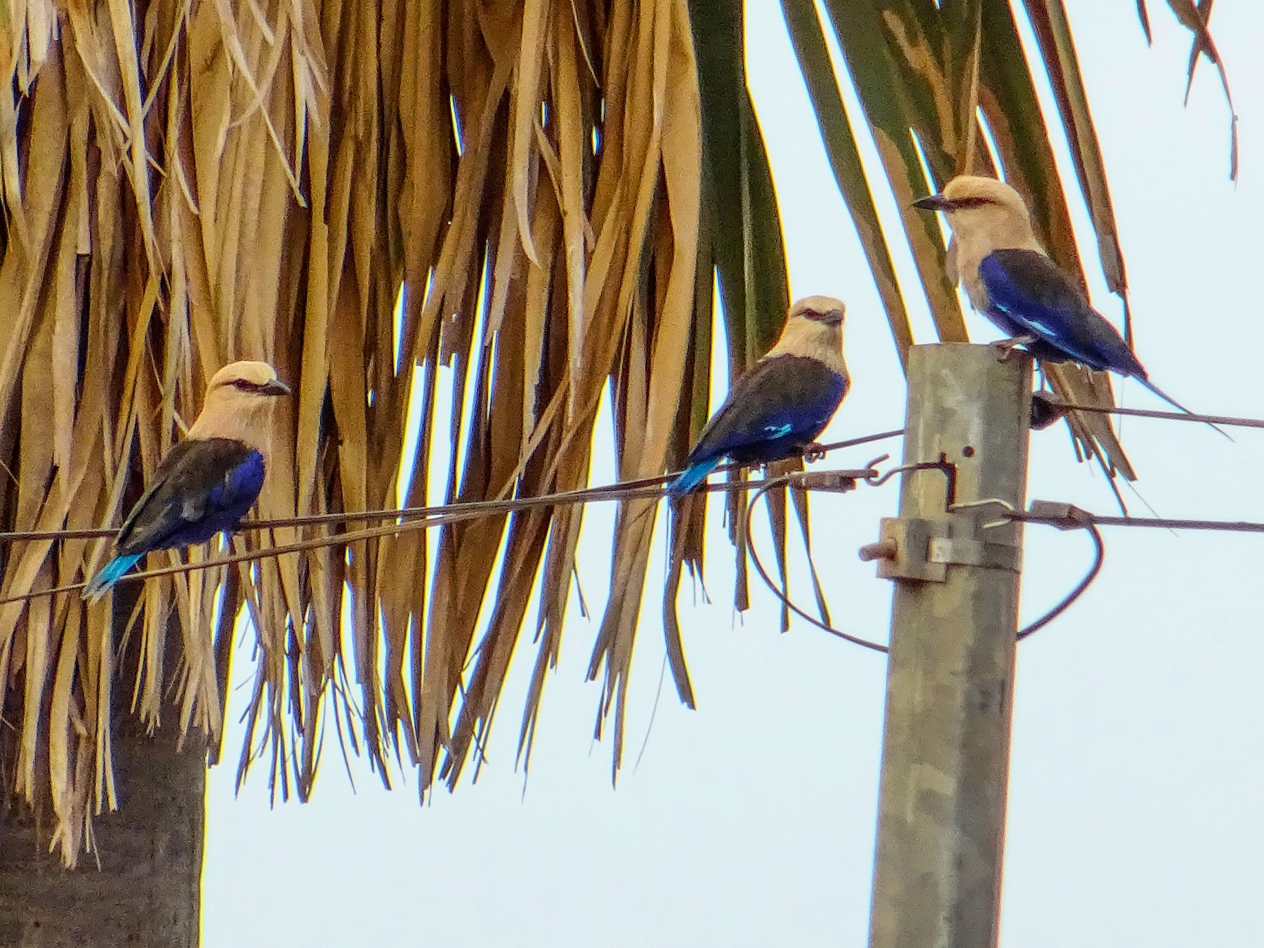 Blue-bellied Roller - Pablo Pascual
