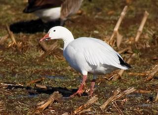Snow Goose, ML371901151