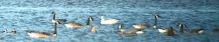 Snow Goose, ML37192741